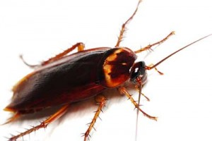 Ideas para acabar con las cucarachas